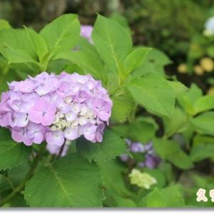 今年もハートの紫陽花さん見付けた♪ ~ギリギリセーフ?ギリギリアウト?なお出掛け②~