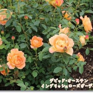 キレイに咲いたバラのお花を楽しもう♪ ~お気に入りの場所でお散歩②~