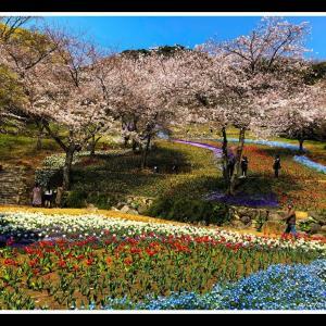 桜とトルコチューリップ園