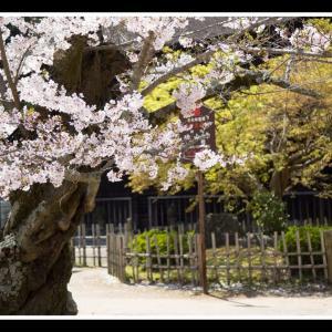 功山寺の桜