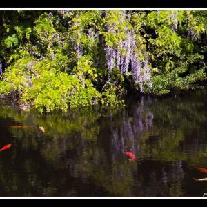 妙青寺の藤と鯉
