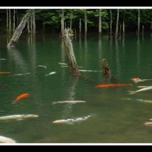 一ノ俣桜公園の鯉