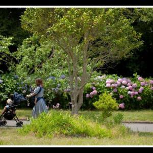 アジサイの咲く散歩道