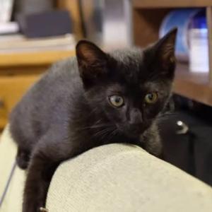 黒猫チビちゃん正式譲渡に❣️