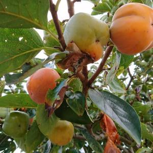 真夏のような暑さですが秋の気配^^・・・早くも自家製「柿」収穫?!