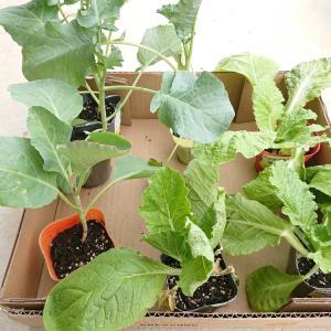 見切り品苗で定番野菜定植・・ブロッコリー&カリフラワーそして「プチヴェール」♪