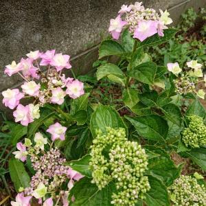 紫陽花と蕎麦の花・・・・マイ畑のお花たち♪