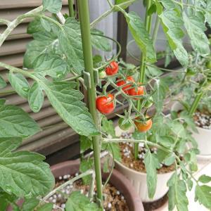 プランターのトマト・・・今日の節約お弁当~♪