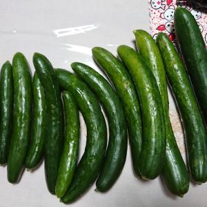 水曜日(7/29)と木曜日(7/30)の収穫・・・キュウリ、オクラ、スイカなどなど♪
