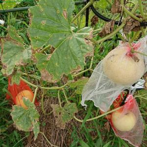 「ころたん」初収穫・・・スイカ・トウモロコシも収穫中~♪