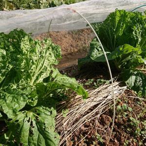 前途多難な白菜・・・そしてニンニク発芽♪