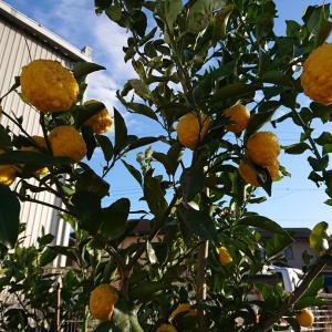 大根の柚子醤油漬け・・・柚子初収穫♪♪