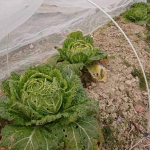 まだまだ収穫中の育苗組「ミニ白菜」♪・・・・消費に追われ中(⌒∇⌒)