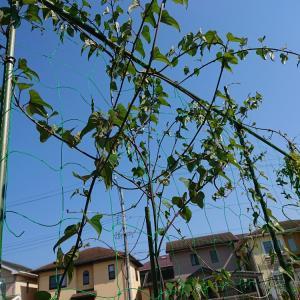 今年もオクラ栽培スタート&山芋の様子(⌒∇⌒)