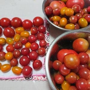トマトの選別(⌒∇⌒)・・・今日の節約お弁当~♪