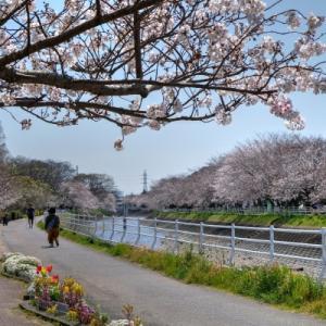 桜 - 長尾川河畔 - ようやく見頃