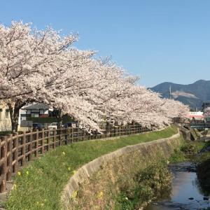 川畔の桜が、満開。今年の見納め。散策のみです。