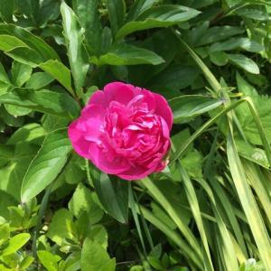 もうすぐ5月、今年も芍薬が咲き始めました。