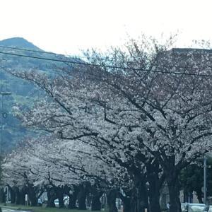 八幡東区祇園町の桜並木。