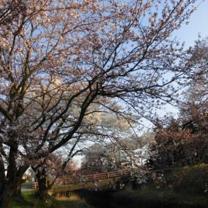 新江の桜並木道
