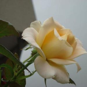 薔 薇 の 季 節 に