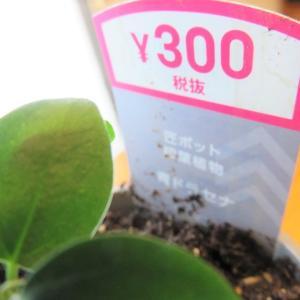 【DAISO】300円でかったもの*観葉植物*