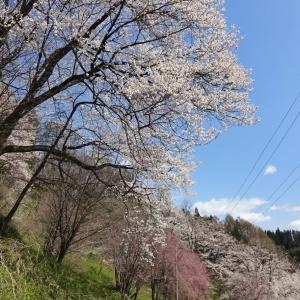 春景色 2021 (11) 二反田の桜~その1~