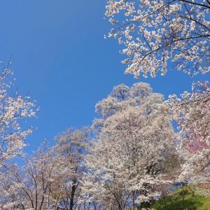 春景色 2021 (12) 二反田の桜~その2~