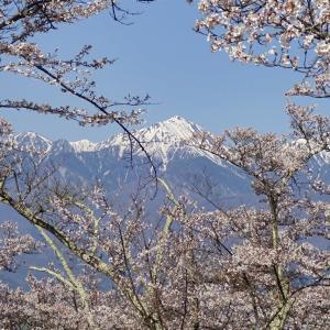 春景色 2021 (13) 光城山の桜~その1~