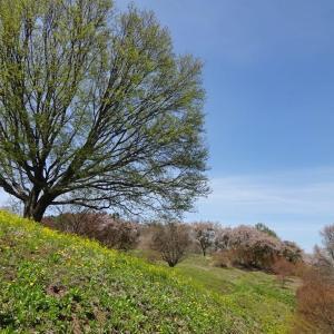 大峰高原で 桜風吹とタンポポの草原