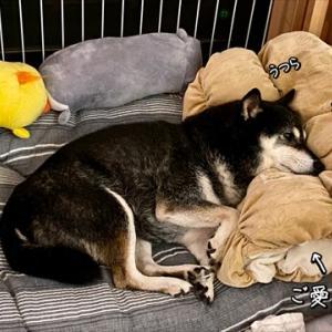 マクラで寝るワンコ