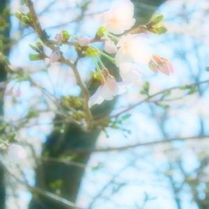 地元桜散歩♪