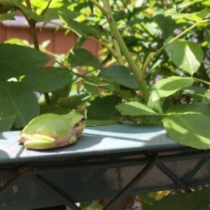 我が家のバラと毎年やってくる緑のお客さん♪
