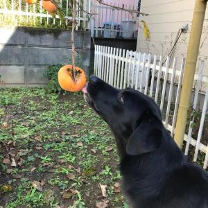 柿食い競争