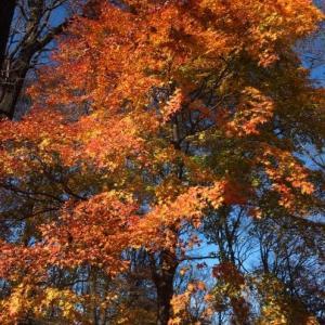 晩秋の武州旅*輝く紅葉のトンネル「秩父高原牧場」
