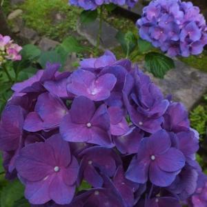 紫陽花の季節 ~関東地方もやっと梅雨入りしました~
