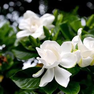 純白の花クチナシ 甘い香りと美しさだけじゃない実を結ぶ花