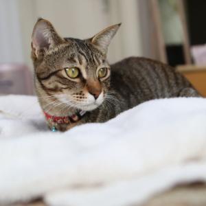 外猫トラちゃんの避妊手術&チコちゃん動画