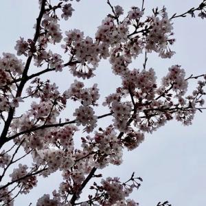 桜が相変わらず綺麗です!