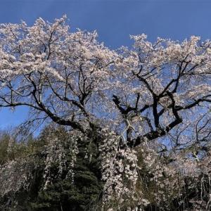 「千女房桜」と「才尾の一本桜」などの桜めぐり!(「大原八幡のしだれ桜」など!)