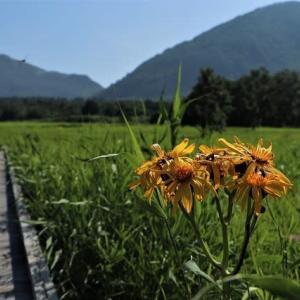 盛夏の久住周辺の花散策!(「キツネノカミソリ」や「ヒゴタイ」など)