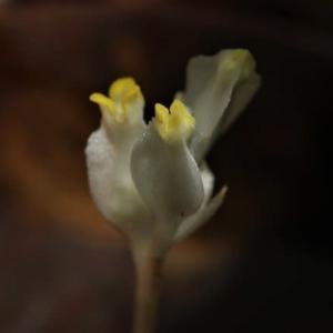 盛夏の希少な花々。(シロシャクジョウ、ホンゴウソウなど!)