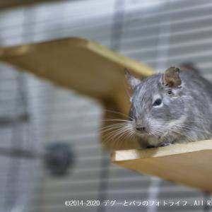 最新ミラーレス一眼カメラのEOS R6で小動物のデグーを撮影