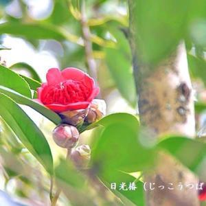 日光椿(じっこうつばき)