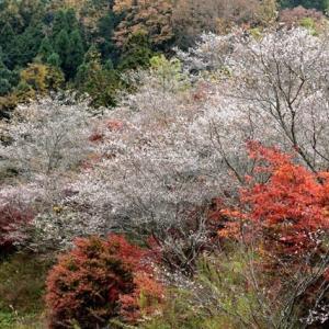 2019年秋模様Ⅰ:豊田市小原地区の四季桜&モミジ葉