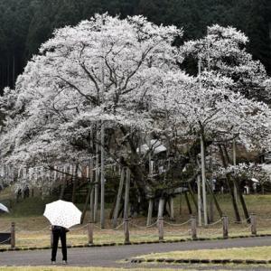 2020年桜巡りin根尾&伊自良湖&岩倉&西尾