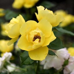名城公園の薔薇を観て来ました!