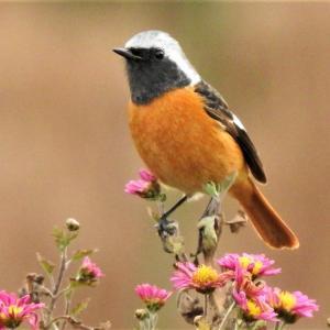 今日の 鳥との一日(その3 ジョウビタキに遊ばれる)