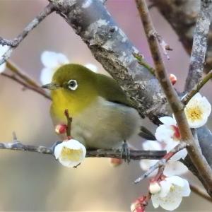 梅にメジロ(その1)