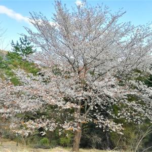 山桜にウグイス